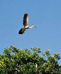 stork, Pantanal, Brazil